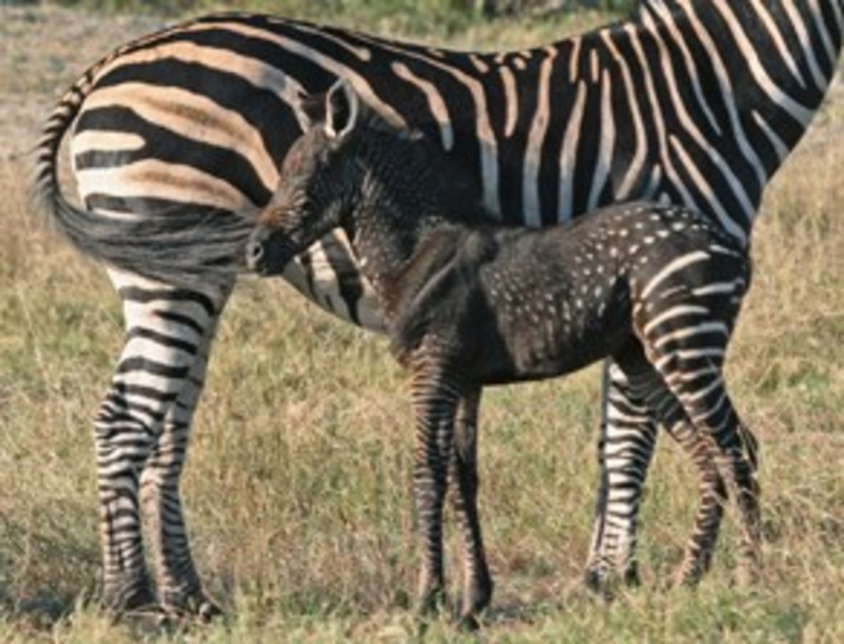 Rare Colored Zebras | HubPages