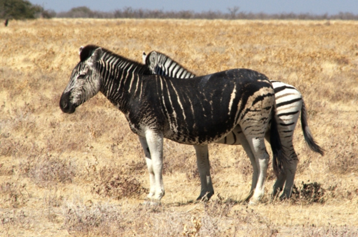Rare Colored Zebras