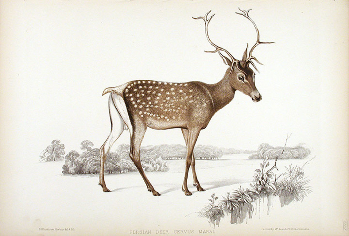 "Persian Deer, Cervus Maral in a hand-coloured lithograph printed by McLean & Co., circa 1850. Plate from John Edward Gray's ""Gleanings from the Menagerie at Knowsley,"" a comprehensive visual survey of one of the largest private menagerie's in Victori"