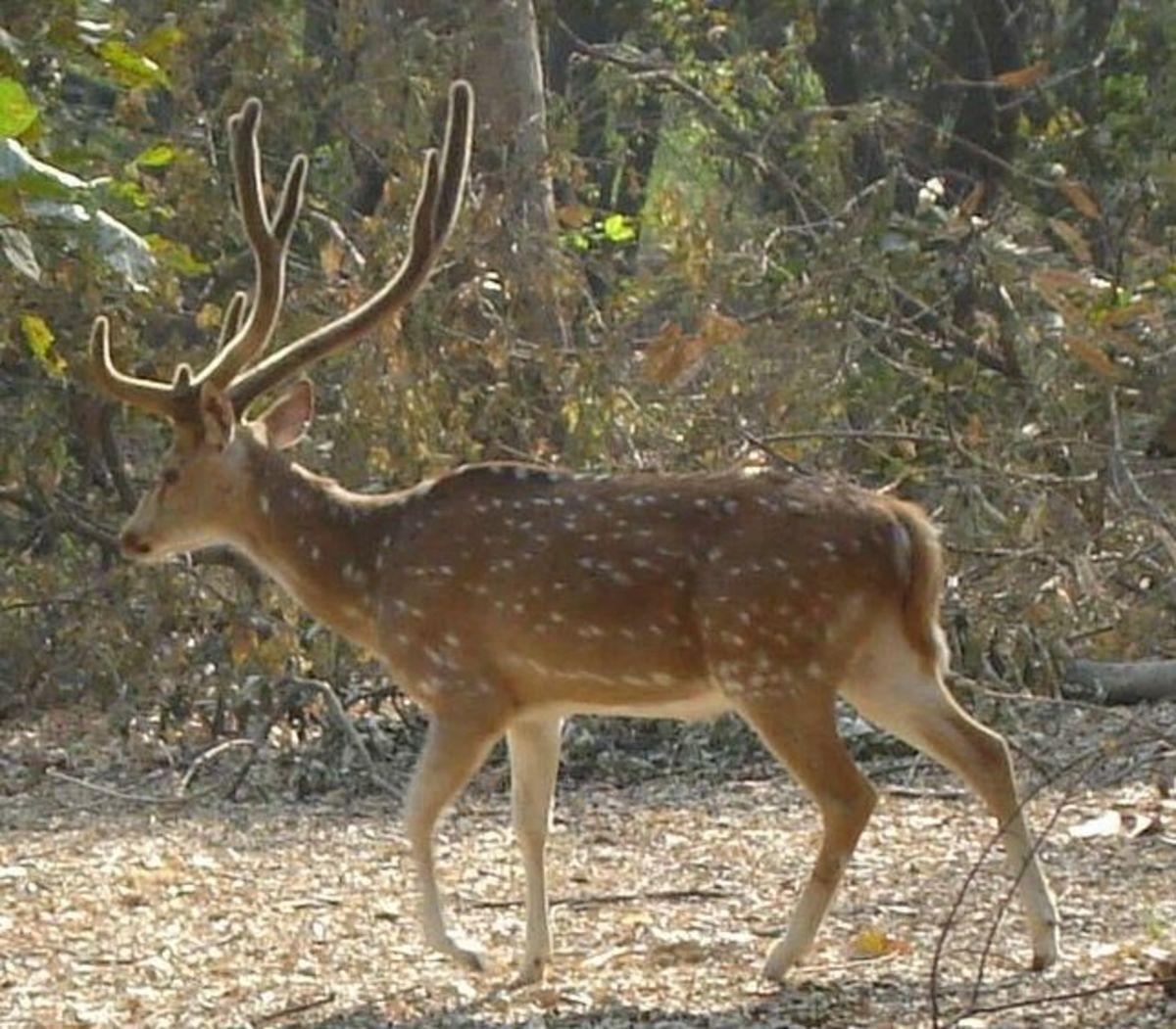 Hangul Kashmir stag from the Nawabganj Bird Sanctuary (on Kanpur-Lucknow road).