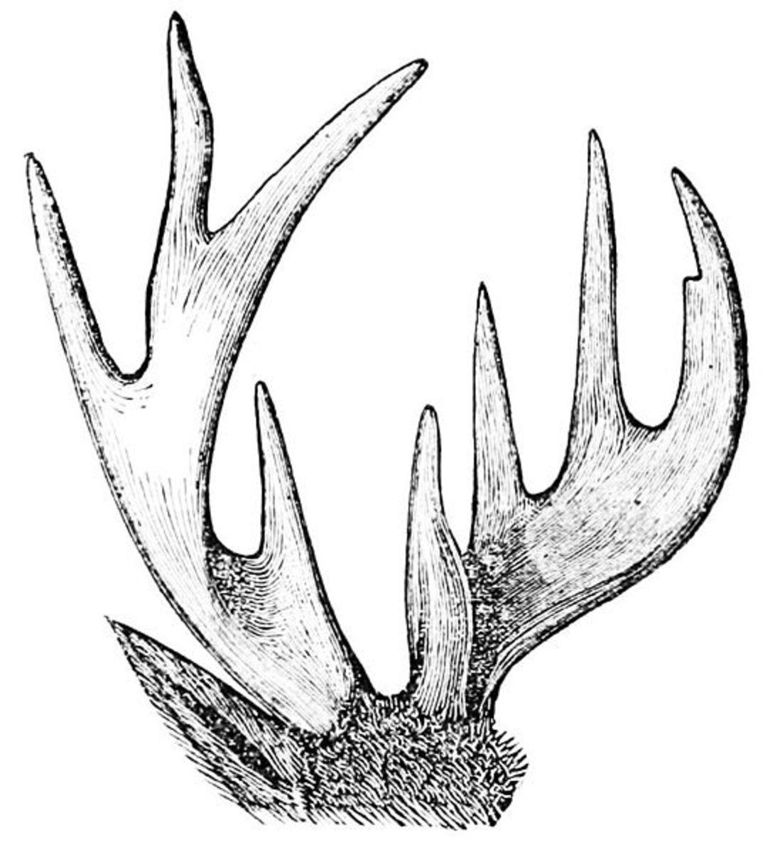 Deer antler dimensions, 1876