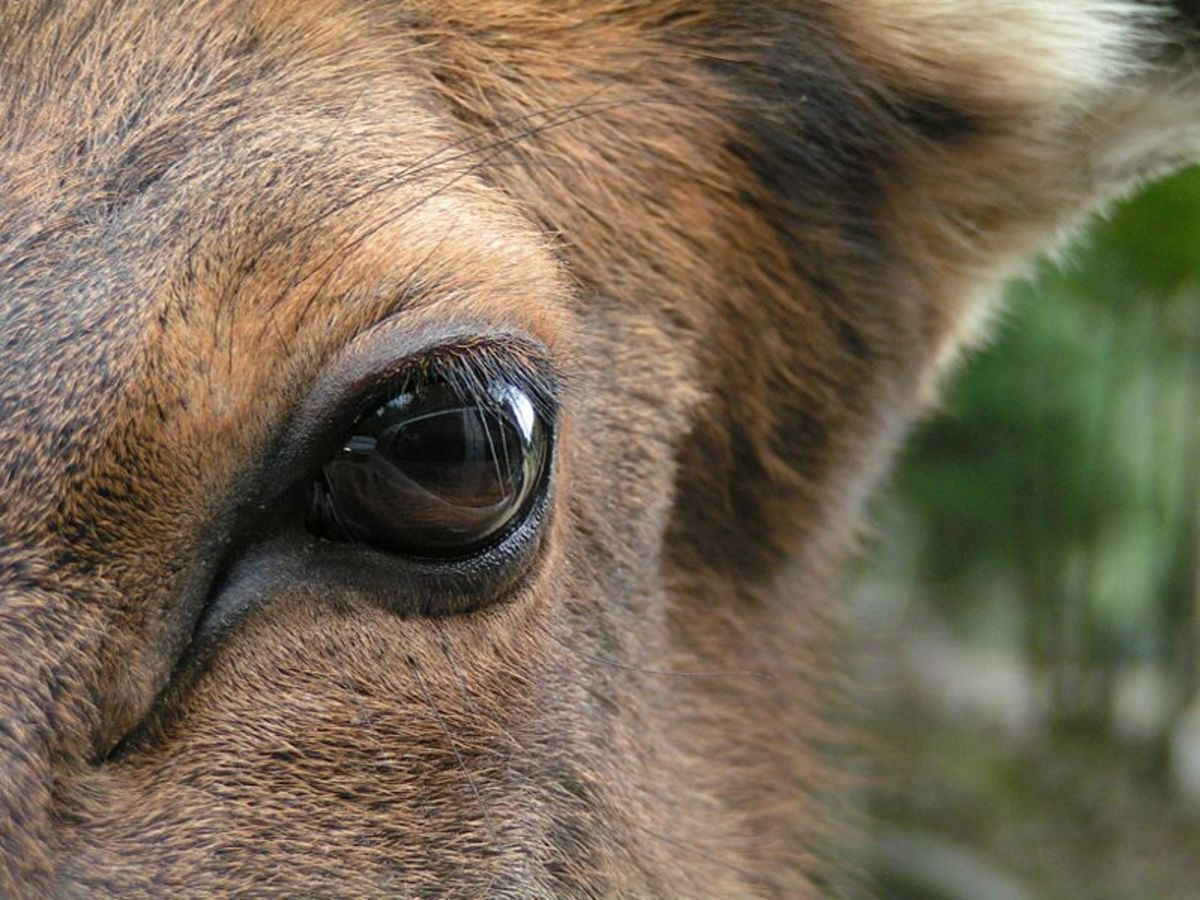 Eye of a Wapiti (Cervus canadensis). The photograph has been taken at Omega Park in Montebello, Québec, Canada