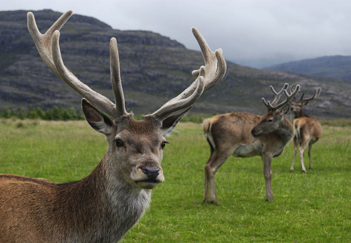 Red deer stag (Cervus elaphus) with velvet antlers in Glen Torridon, Scotland