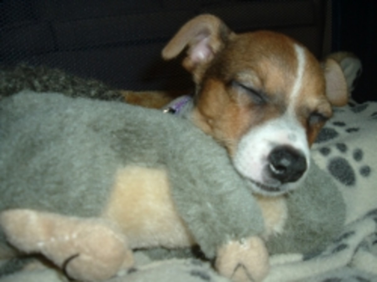 Even Jack Russells sleep some time