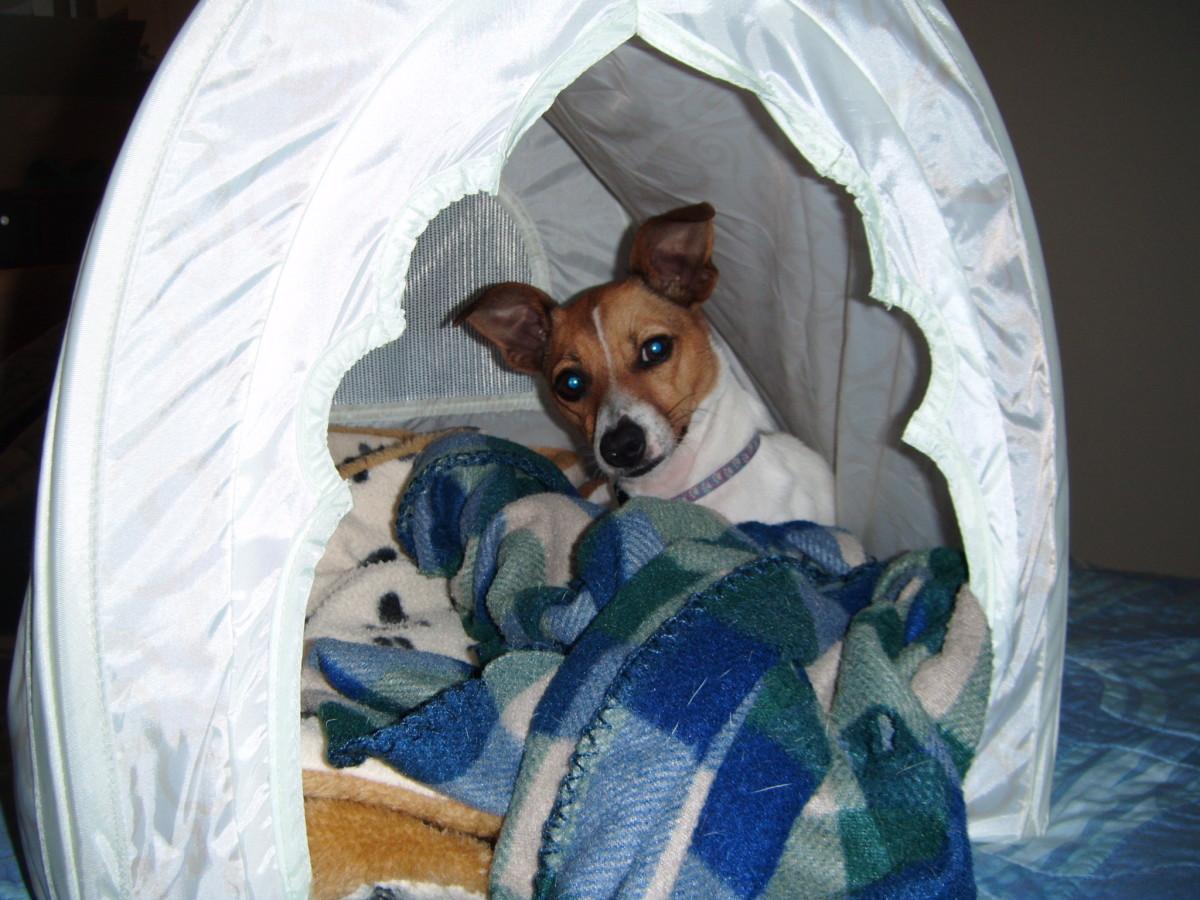 My Dog Misha:  The Entertaining Jack Russell