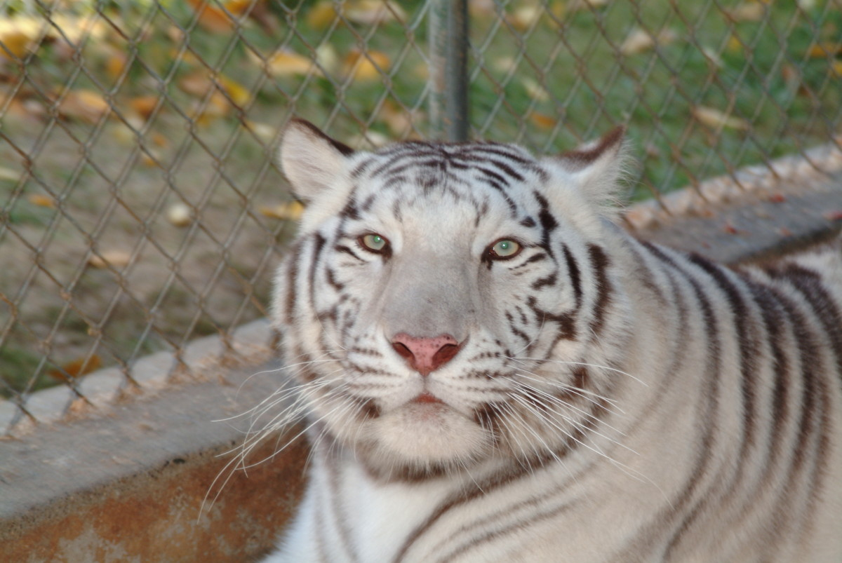 White tiger seems to grin and pose for the camera