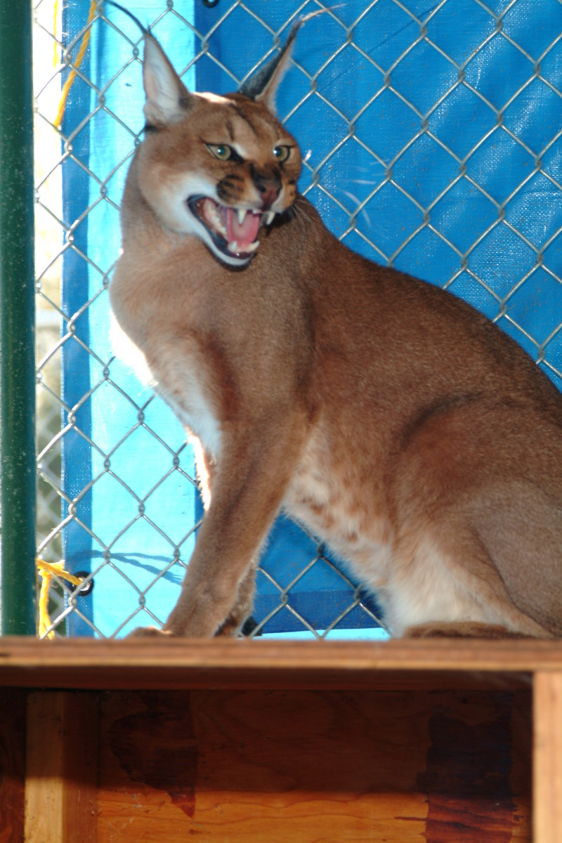 """Inside an isolation enclosure with a female Big Cat - """"Lynx"""" are defined as any of many wildcats with a short tail, long legs, and tufted ears."""