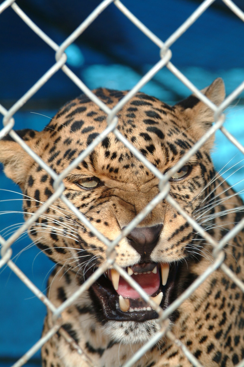 Leopard face close up looking through wire