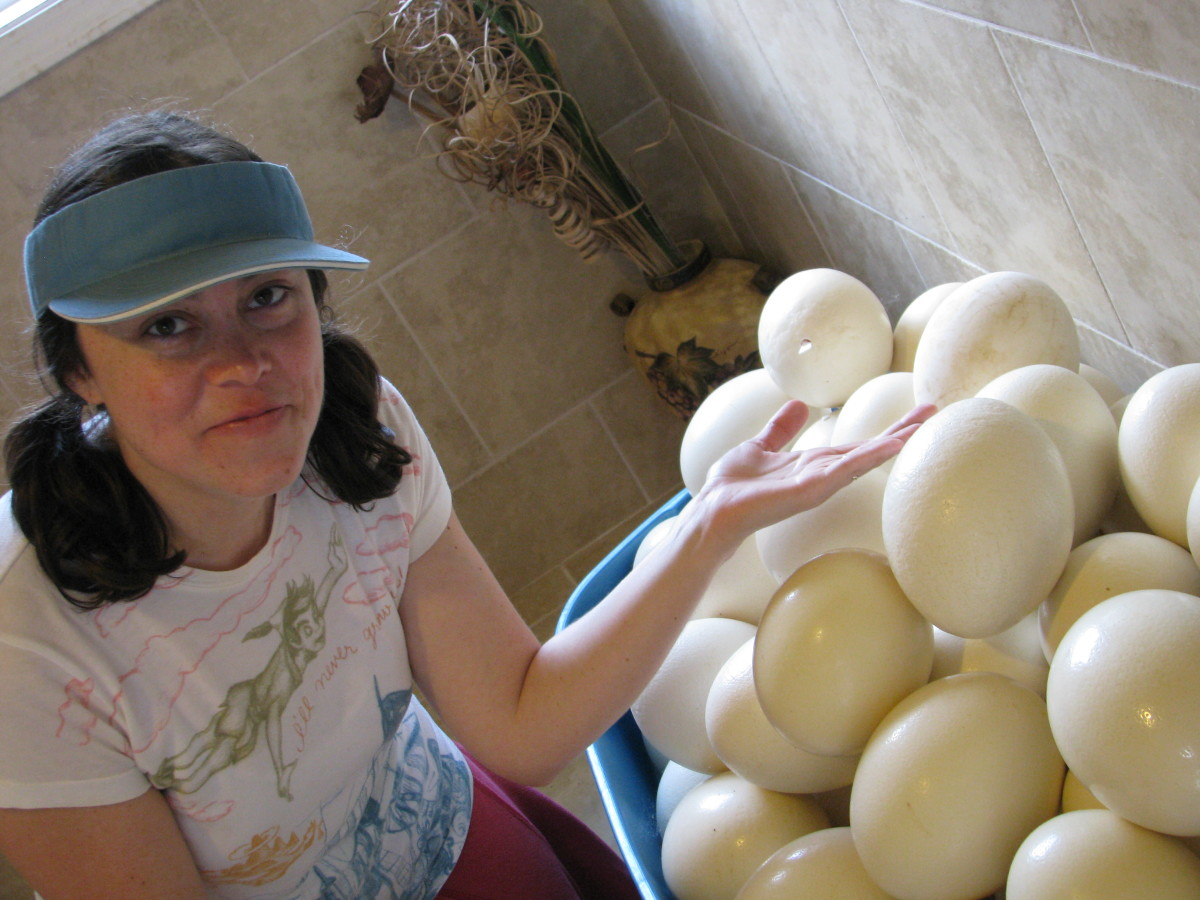 Ostrich eggs look huge compared to chicken eggs.