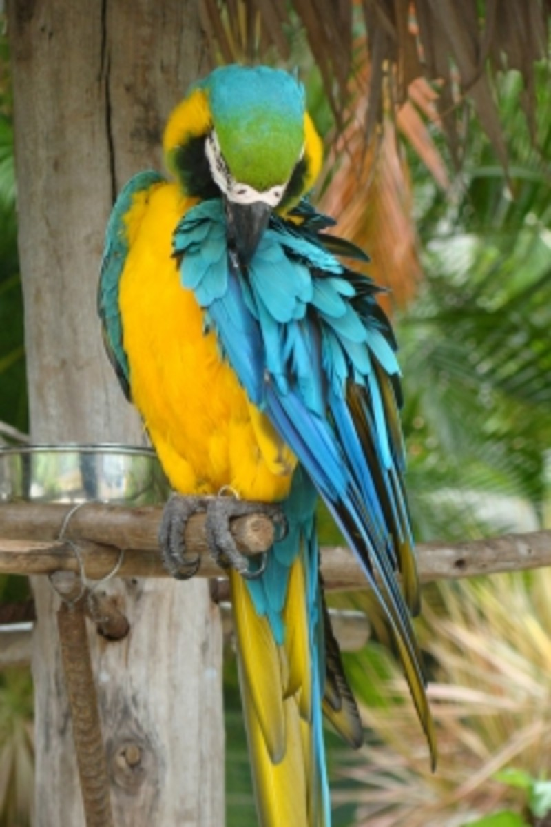 A Blue and Yellow Macaw - Nassau