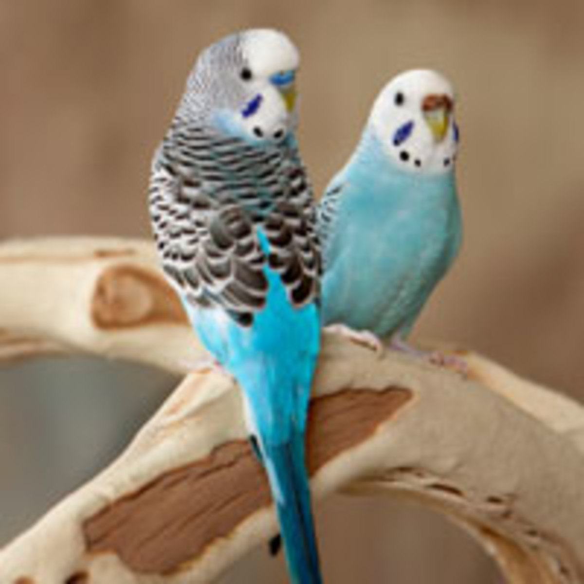How to find out if your budgie parakeet is a boy or girl