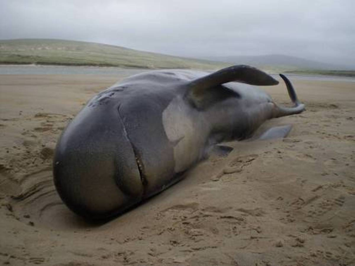 Dead Pilot Whales on Coast of New Zealand Islands
