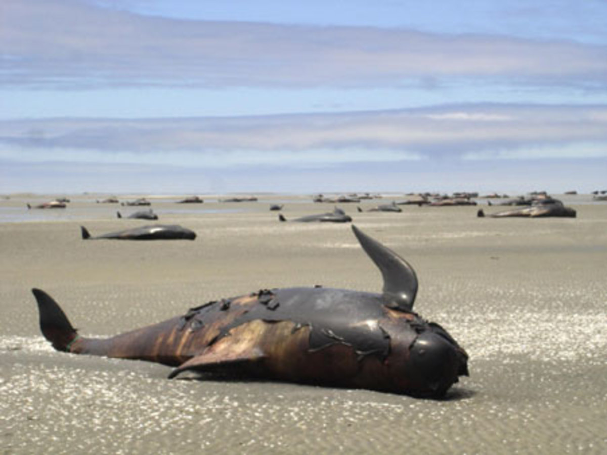Dead Pilot Whale on Coast of New Zealand Islands