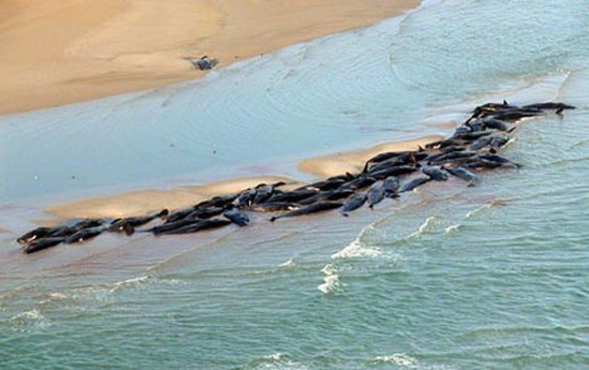 Beached Whales Tasmania Australia