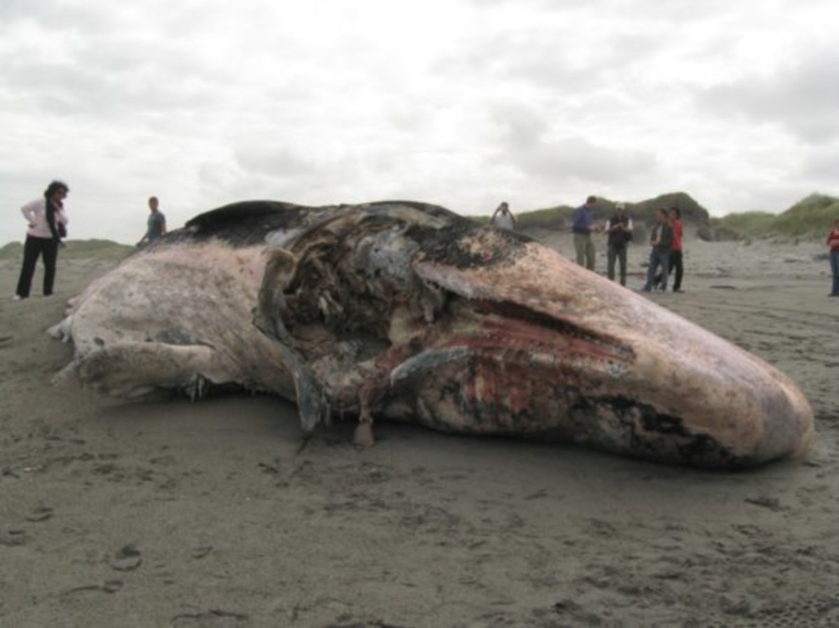 Dead Whale on the Coast of  Franz Josef New Zealand