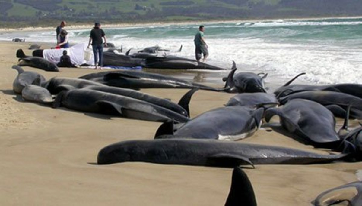 Beached Whales on Coast of Hamelin Bay W. Australia