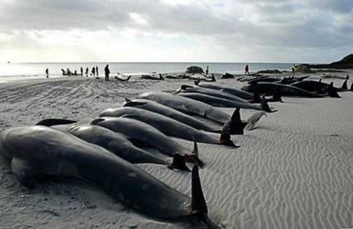 Beached Whales on the Coast of Tasmanias King Island