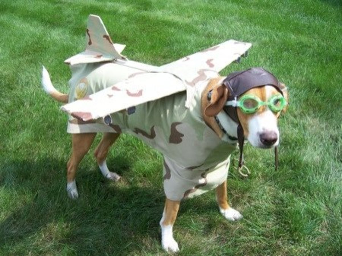 Dog dressed as an airplane