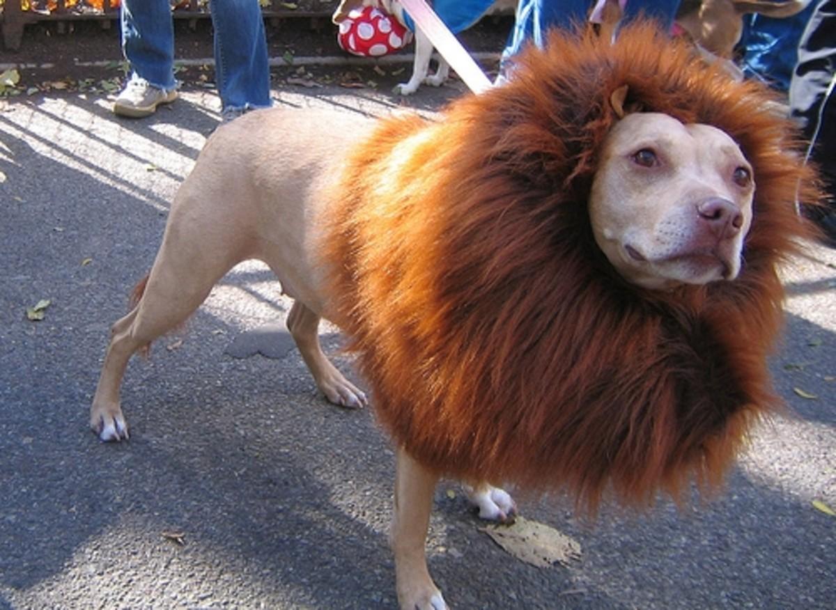 Dog with Lion Mane Costume