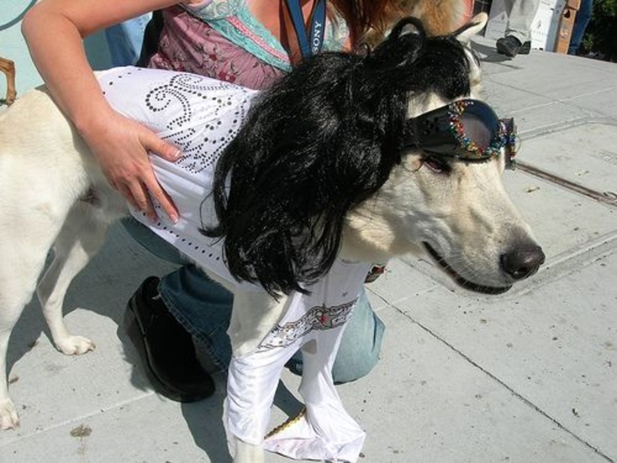Dog dressed as Elvis