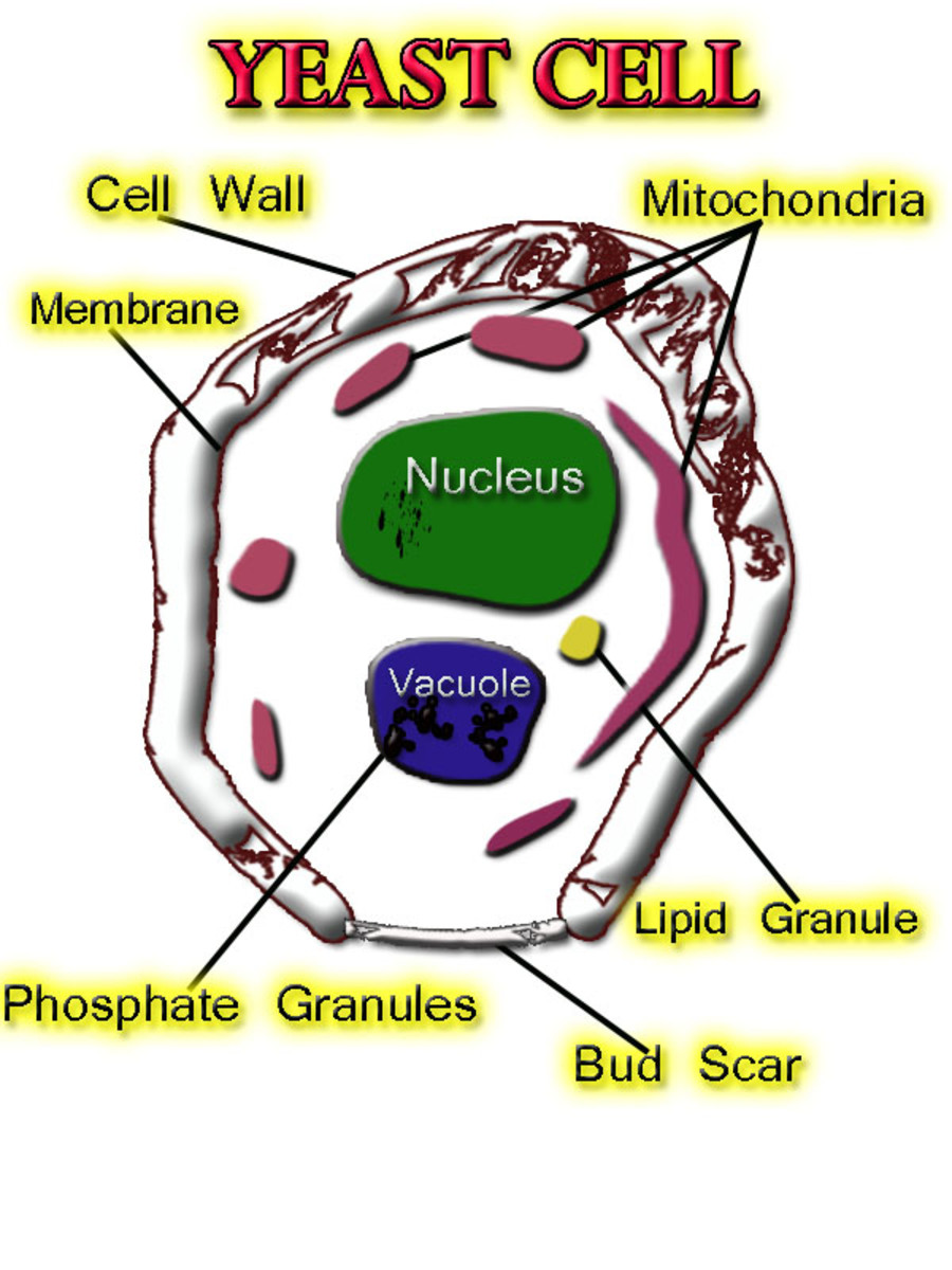 Yeast Cell Construct: copyright  2011 India Dee