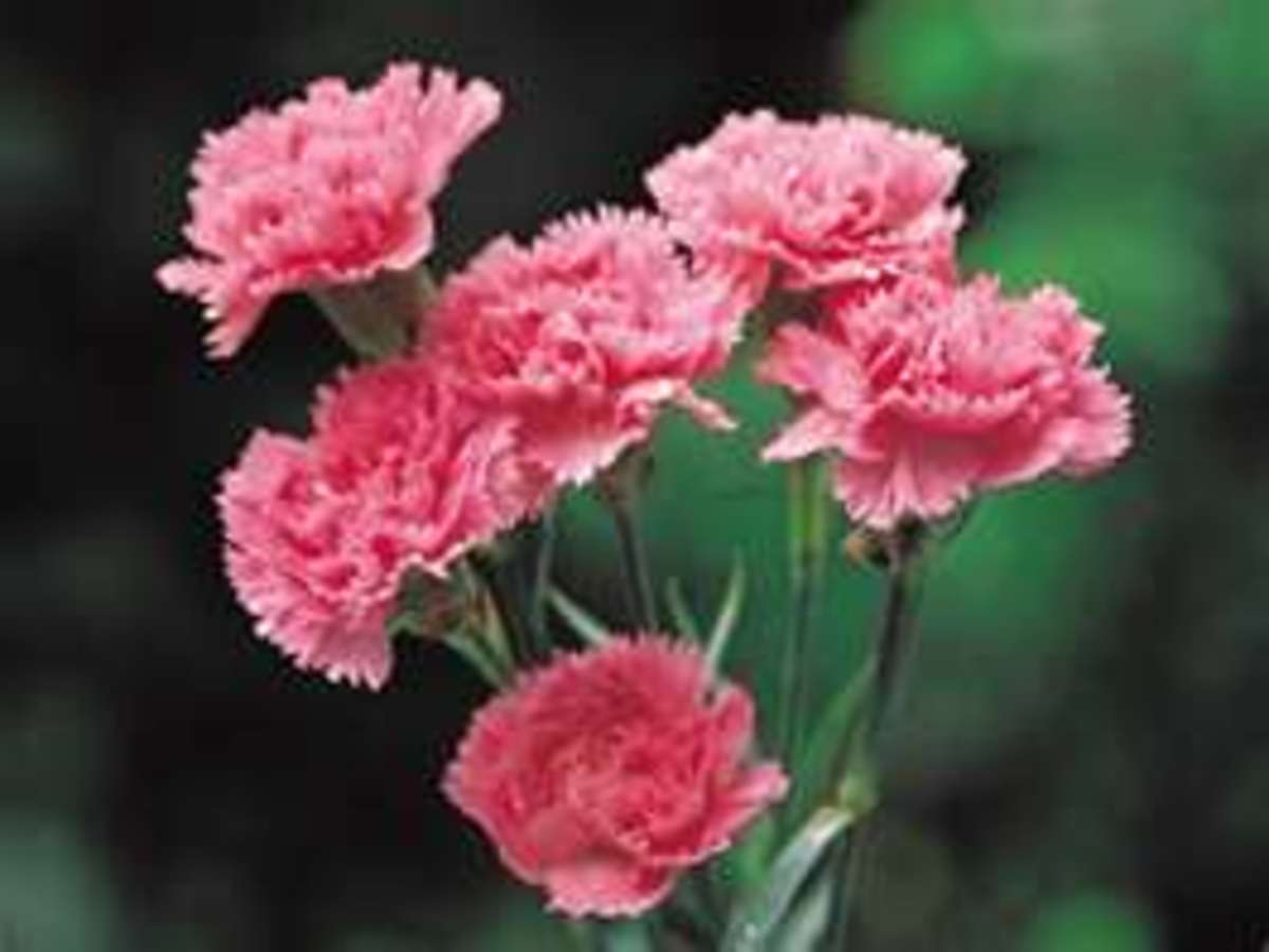 """Pink Carnation or Dianthus roughly translating to """"flower of love"""" or """"flower of the gods"""" is the symbol for  a Mother's Love.  Ancient Christians  believed that as Mary wept for her son Jesus the first carnation bloomed."""