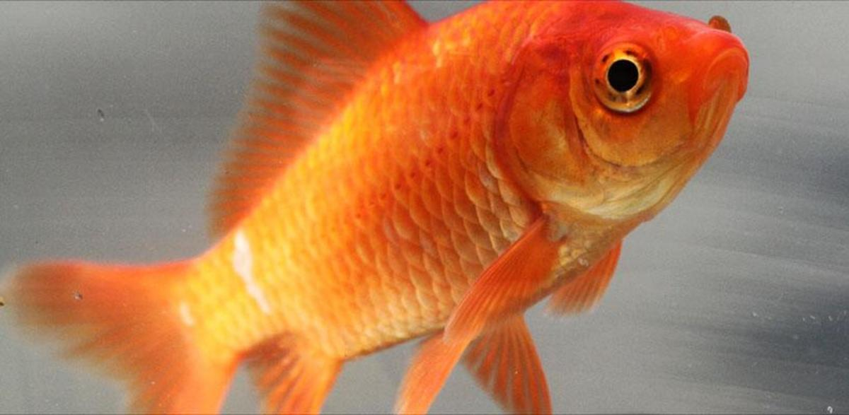 Goldfish Care, Breeds and Goldfish Diseases