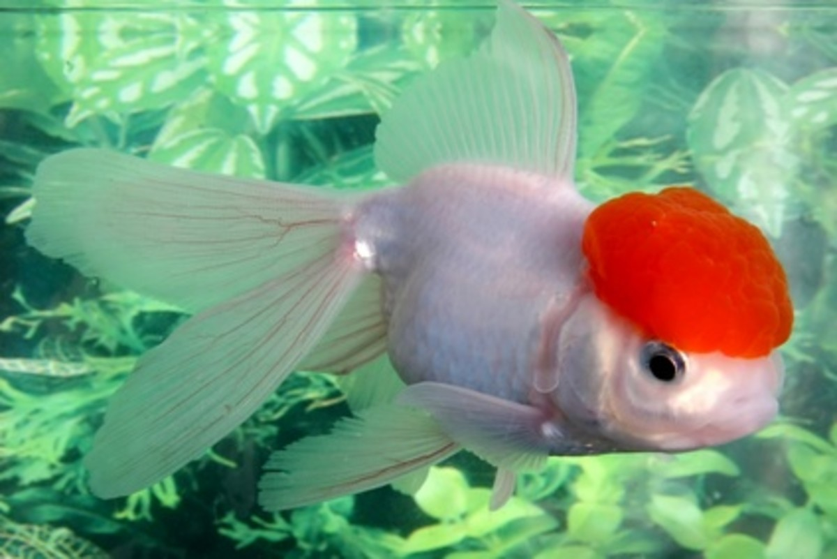 goldfish-care-breeds-and-diseases