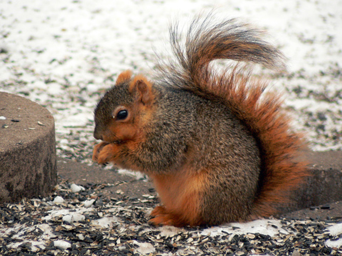 Fox Squirrel