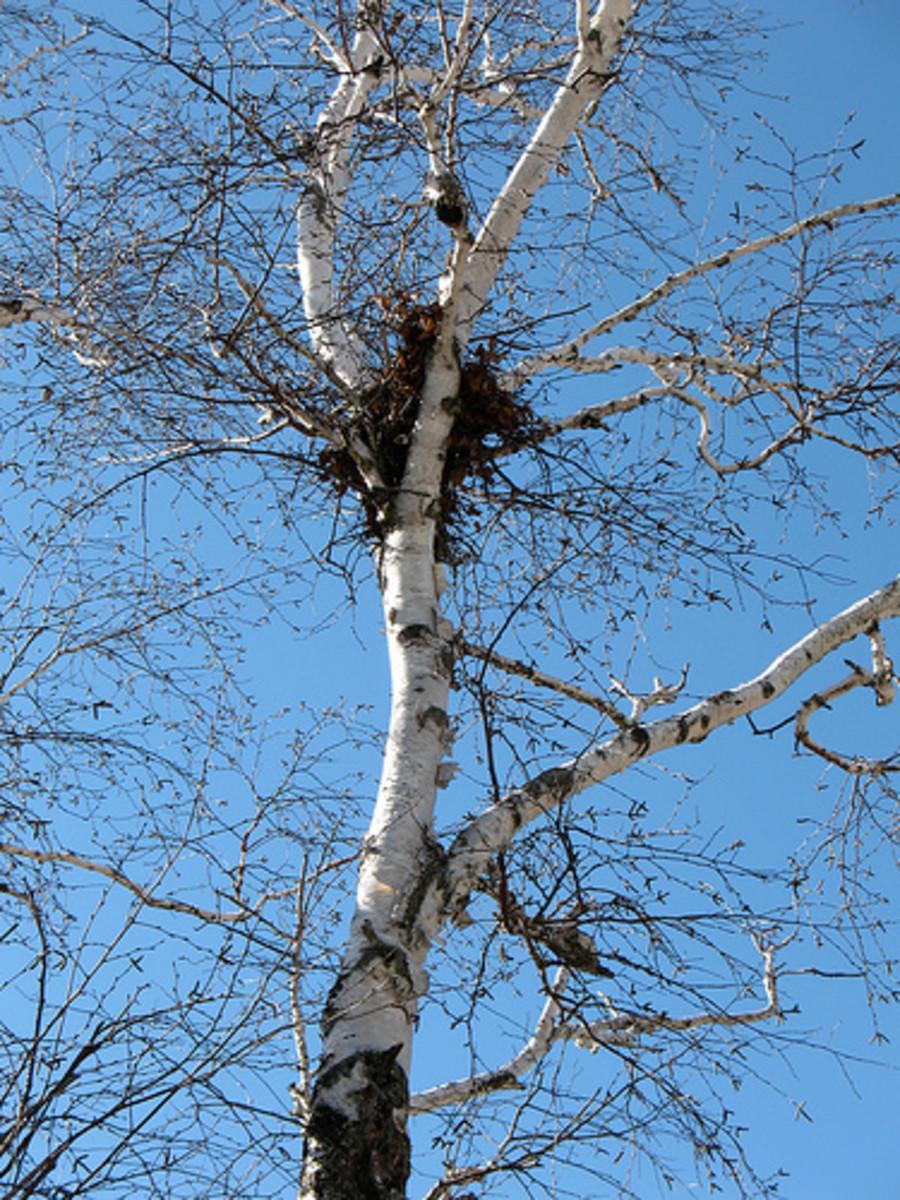 A squirrel nest high in a birch tree.