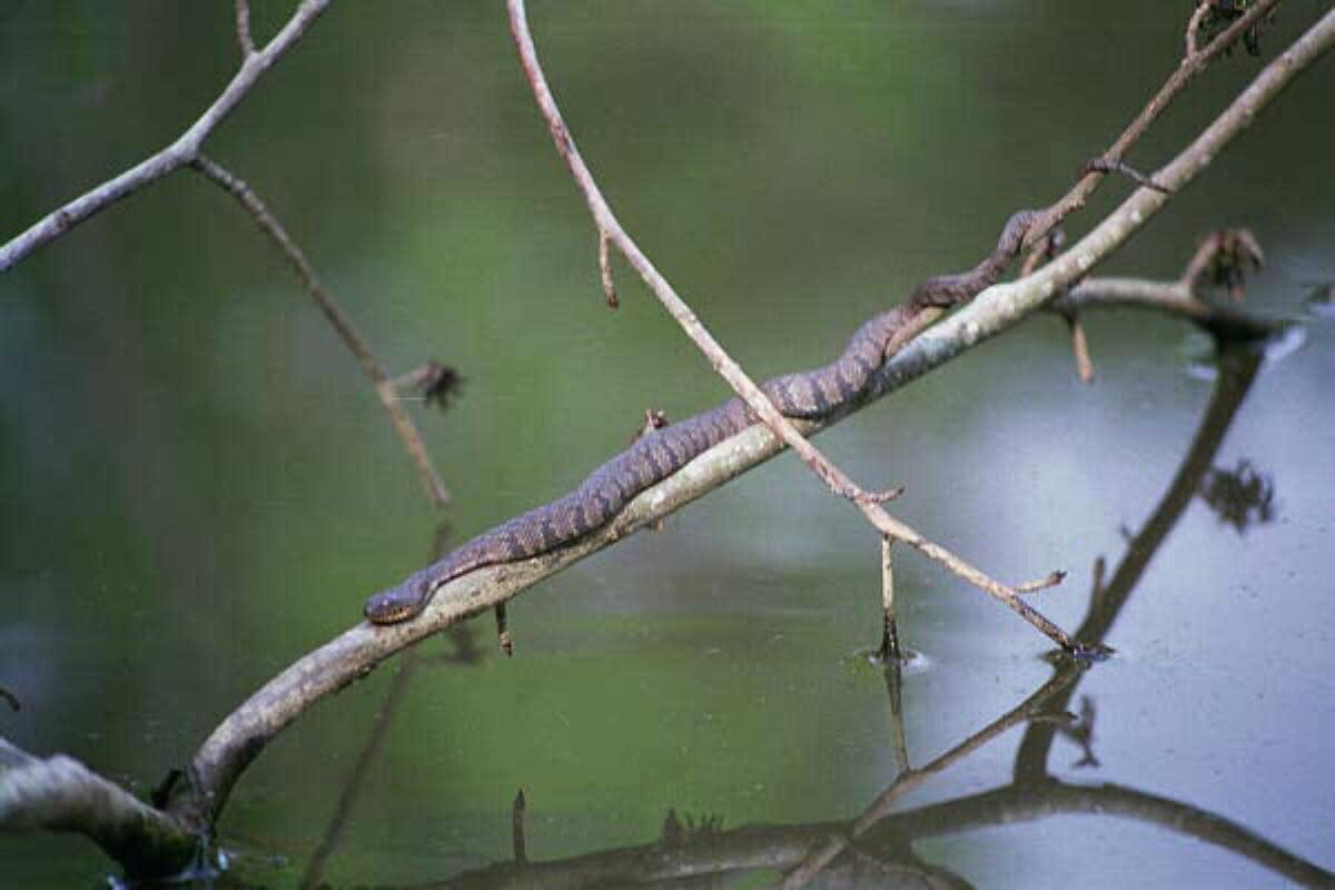 A Diamondback water snake in its natural habitat.