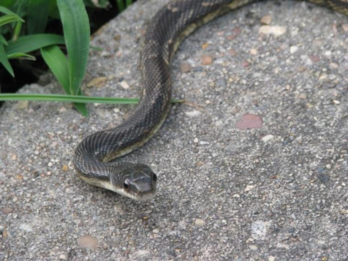 pictures-snake
