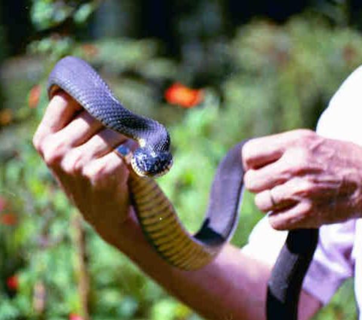These snakes live in water, but are often seen on land.