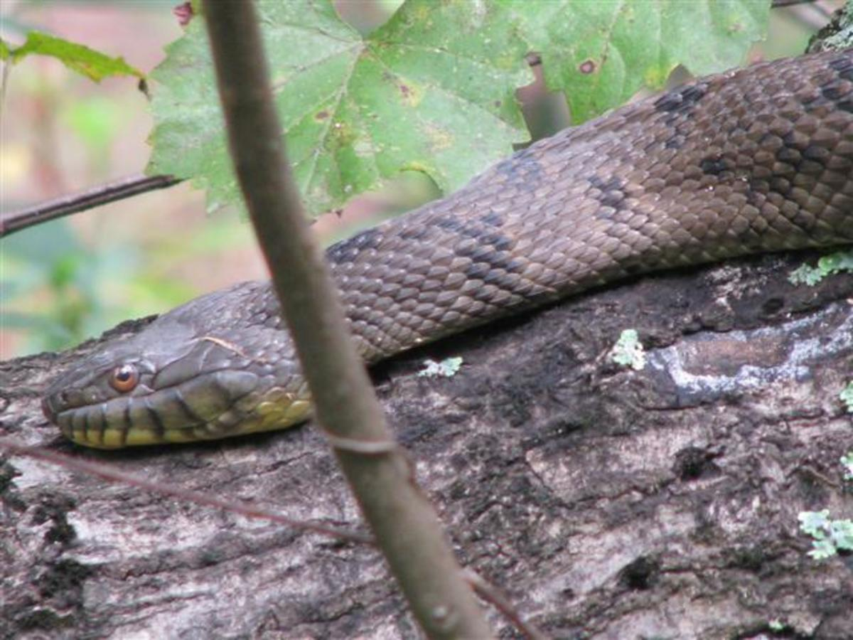 These snakes are attractive, large, and not poisonous.