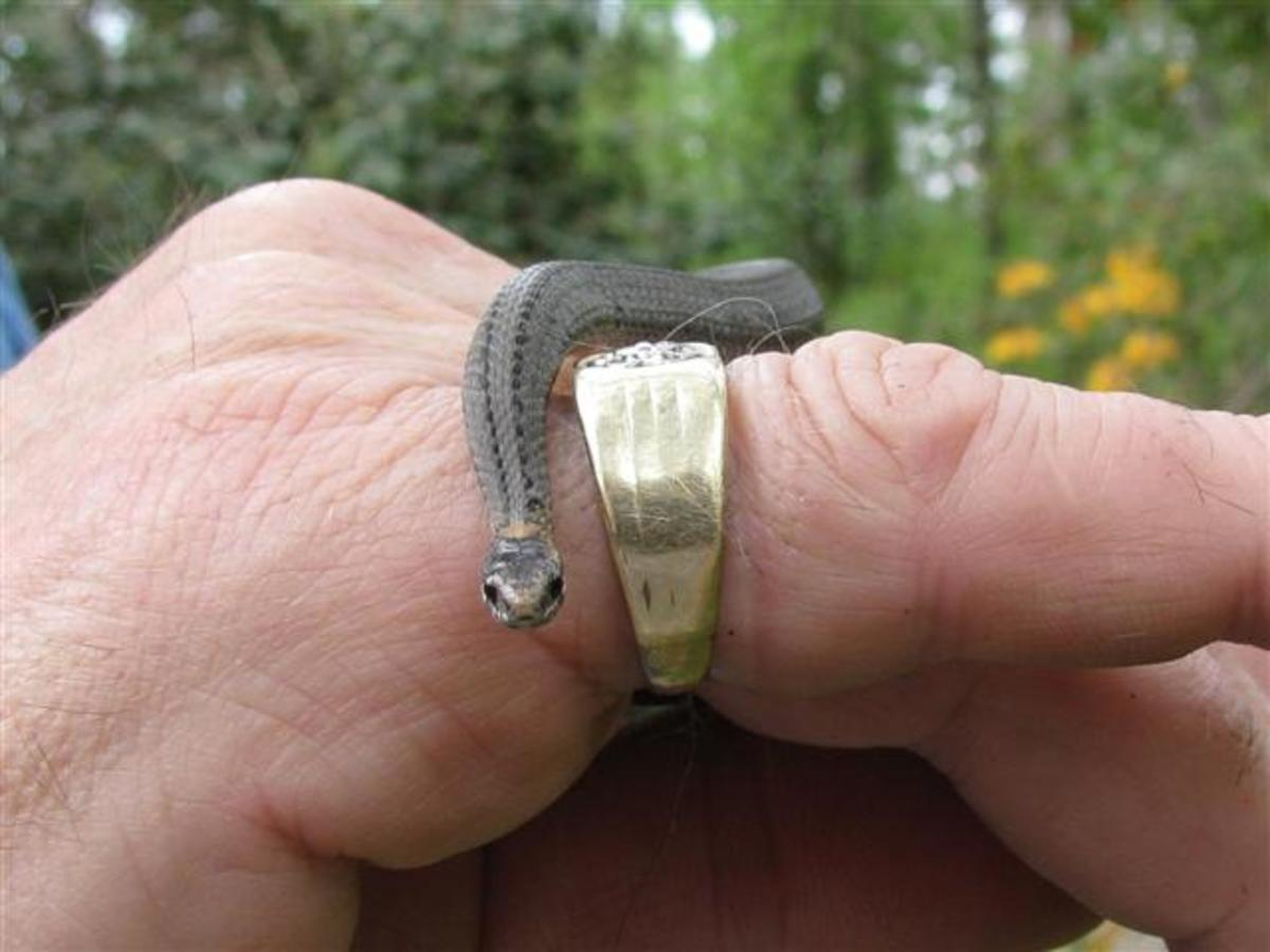 An adult Ring-Neck on my husband's hand.