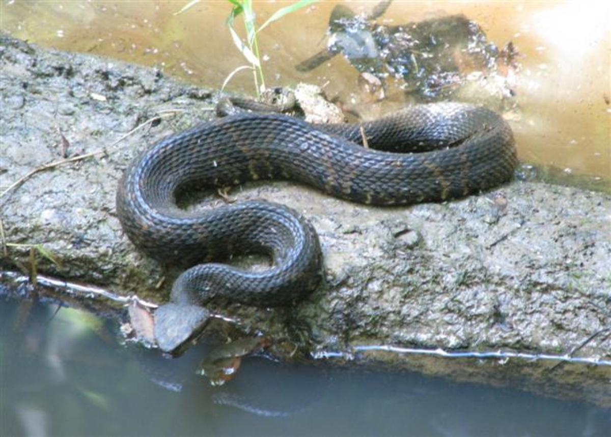 A Cottonmouth in Pruden Creek, hunting for breakfast. You can see some of the lighter markings which indicate that this snake is probably only 2-3 years old.