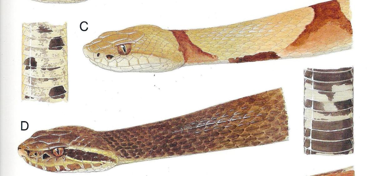 C: Copperhead Snake D: Cottonmouth Snake The markings on the head of these two closely related pit vipers are very different. Note the light colored face of the copperhead and the dark slash behind and under the eye of the cottonmouth.