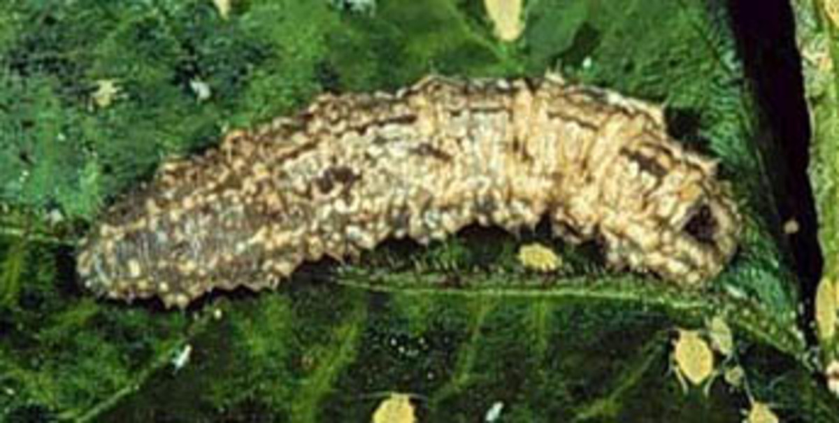 Hover fly larvae eat mites and caterpillars, as well as aphids.