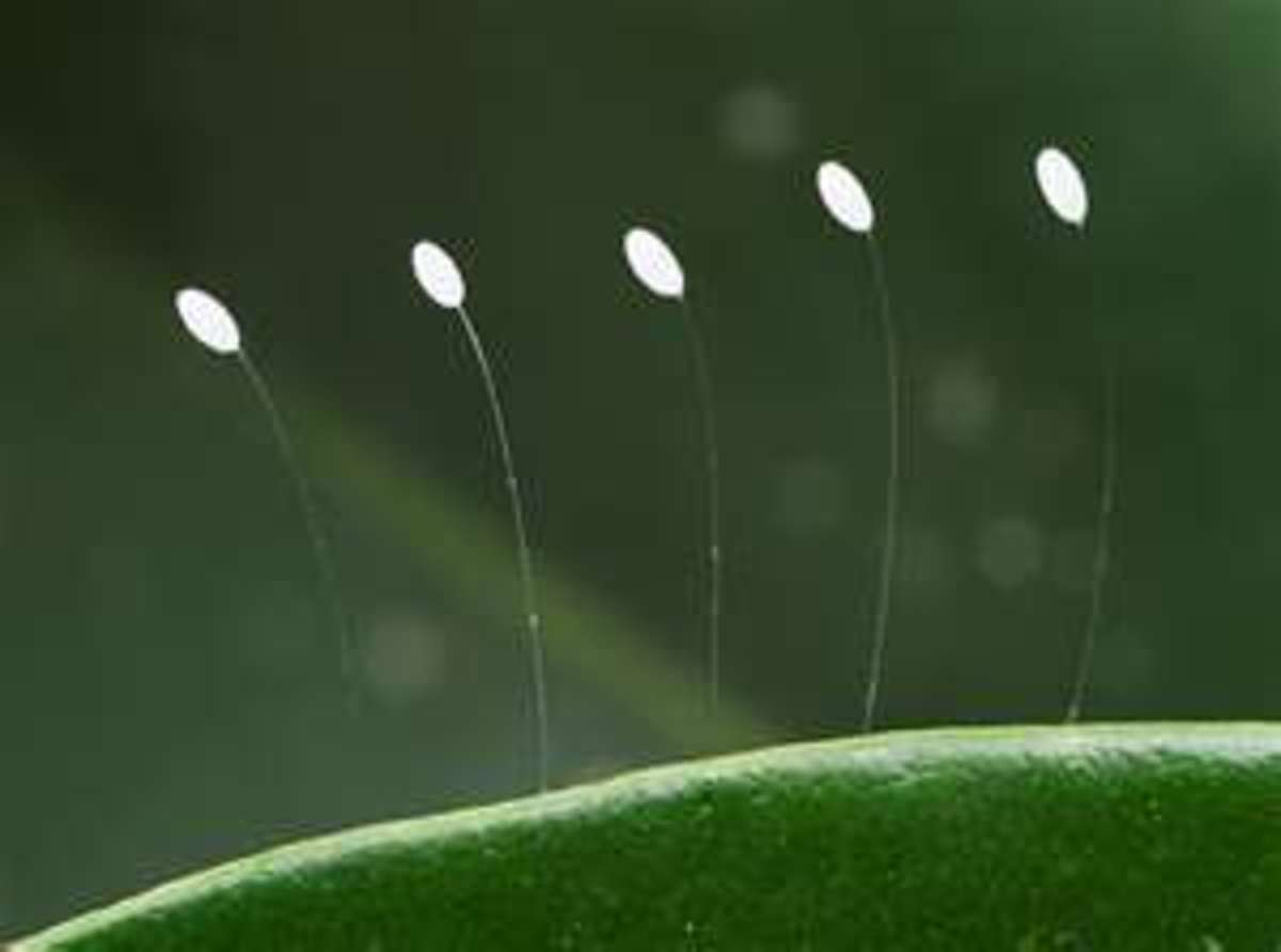 Adult lacewings lay their eggs at the ends of stalks. They often attach these stalks to stems and leaves.