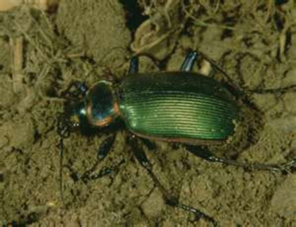 All ground beetles, like this green one, have prominent legs, and they can move quickly.