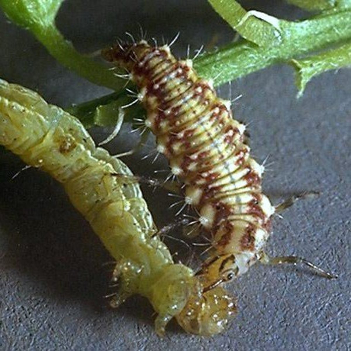 Lacewing larvae are very predatory. Here, a lacewing larva attacks and eats a catepillar.
