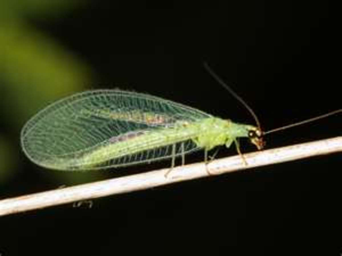 Adult lacewings have transparent wings. They may be green or light brown.