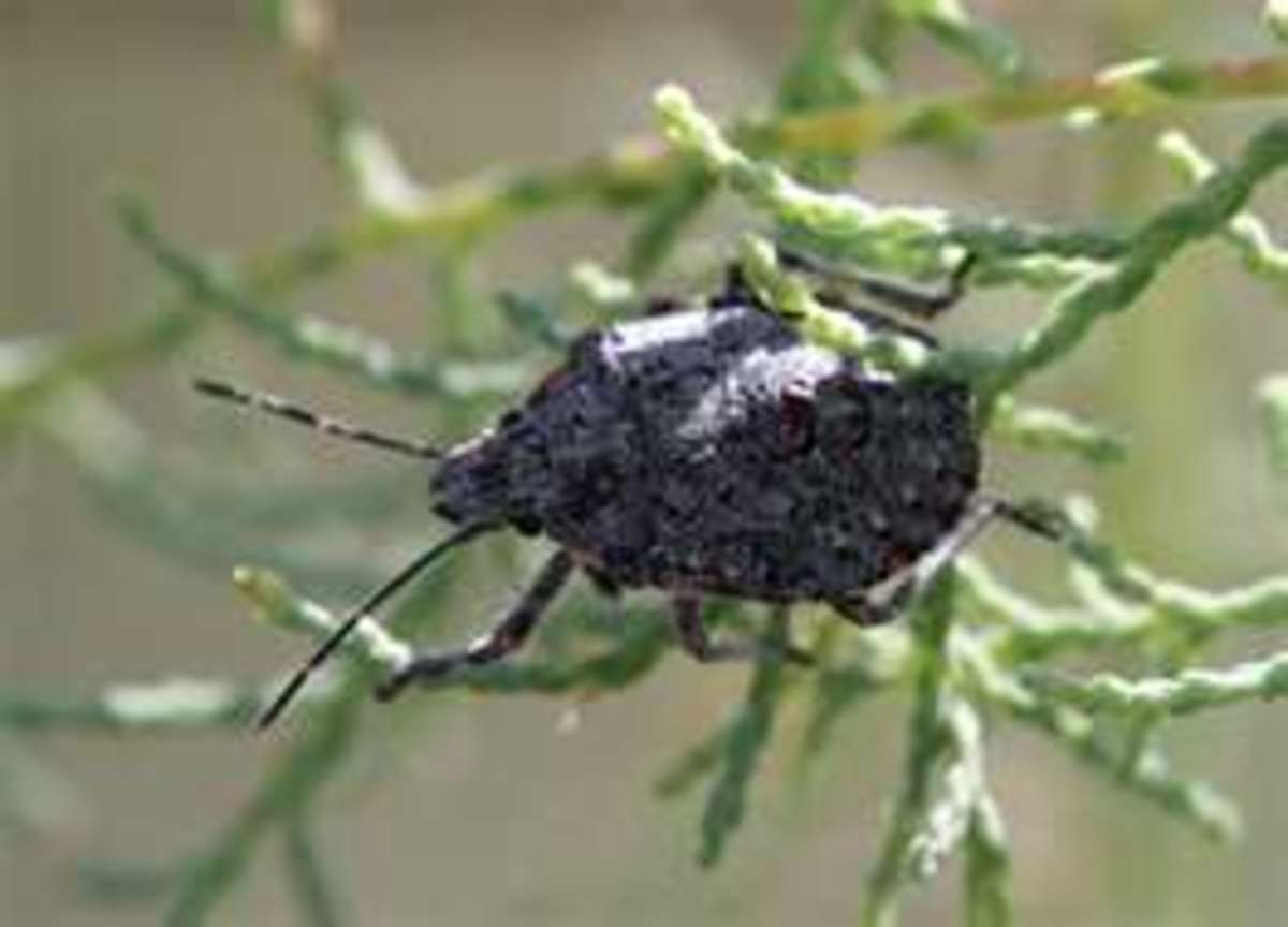 Rough Shield Soldier Bug