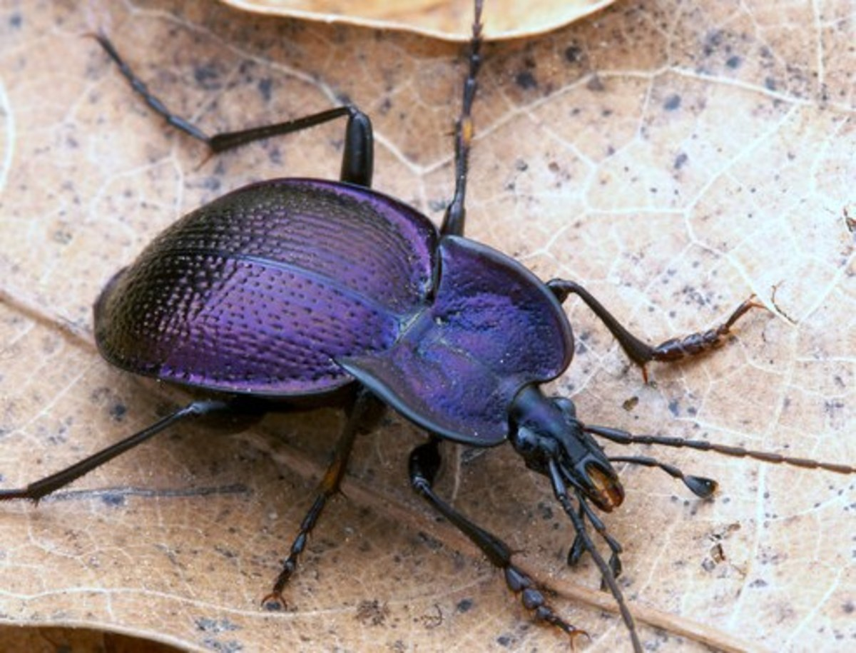 Ground beetles vary in color and shape.