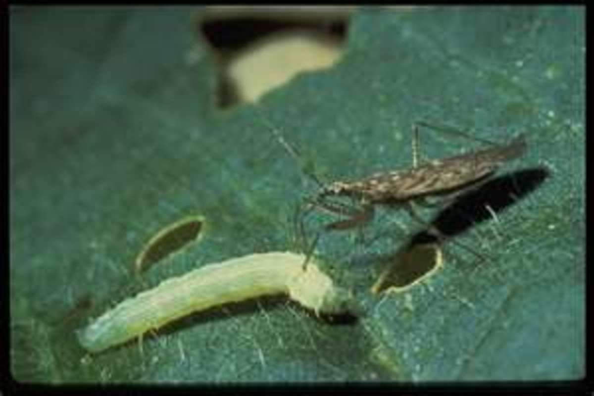 They eat a variety of garden pests, including aphids, leafhoppers, mites, and caterpillars.
