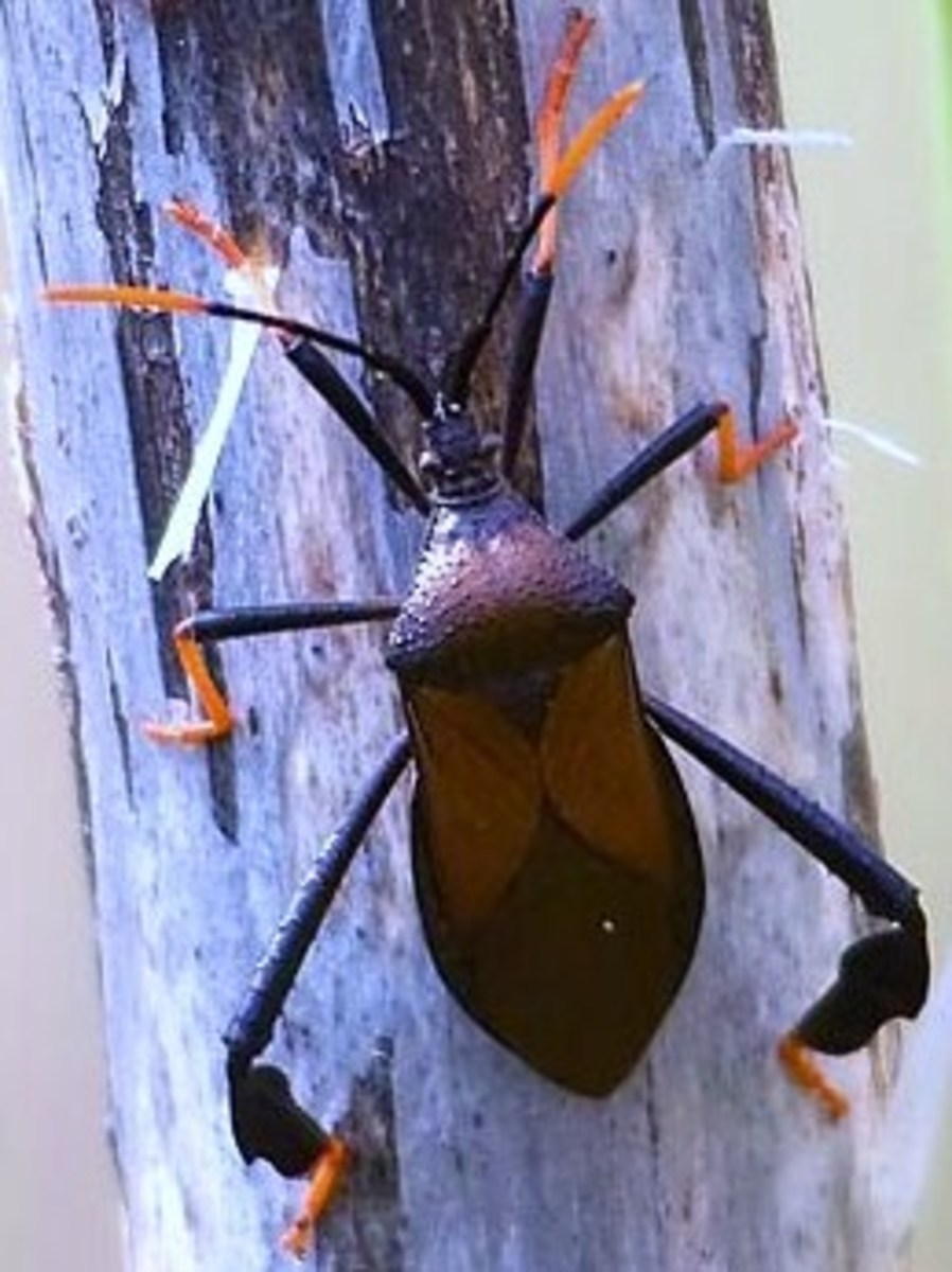 Assassin bugs eat flies, caterpillars, beetles, and mosquitoes. But don't thank them with a hug. They'll bite you, too!