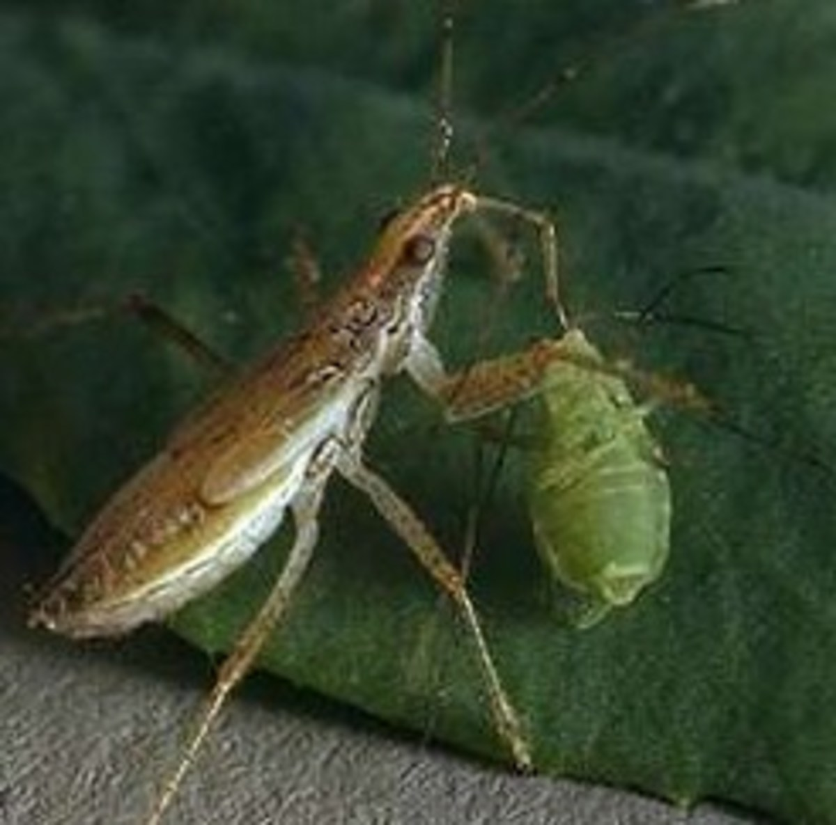 Adult damsel bugs as well as nymphs are ravenous predators.