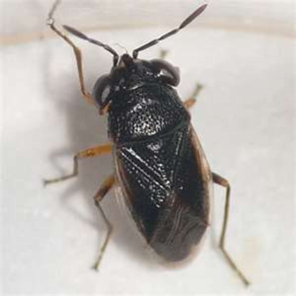 Bigeyed bugs are usually black or gray.