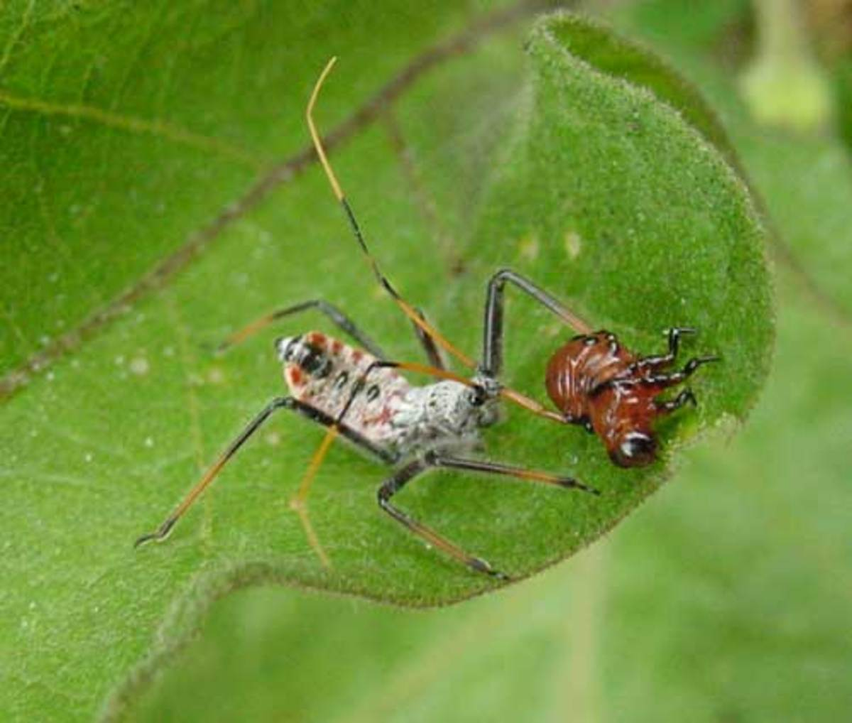 An assassin bug nymph feeds on a potato bug. Because the assassin bug undergoes a simple metamorphosis, nymphs and adults look very much alike.