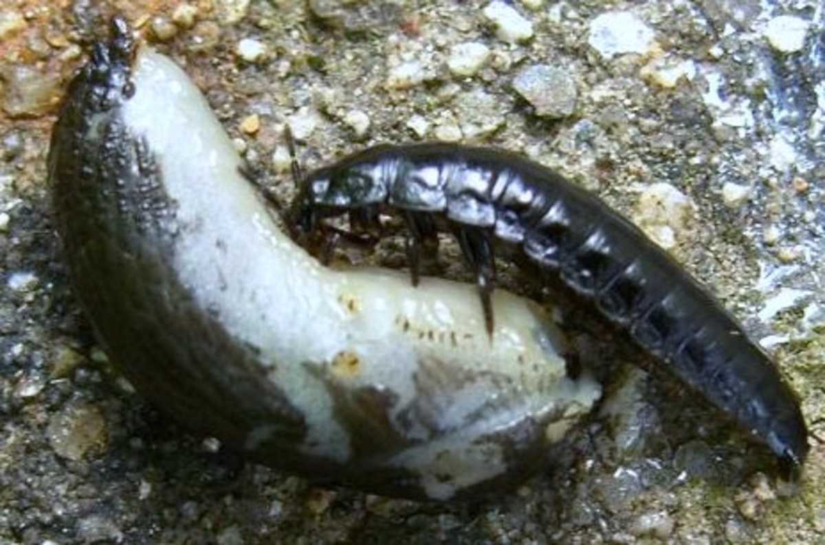 Ground beetle larvae have relatively prominent jaws. Here, beetle larva feeds on a slug.